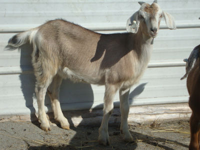 Kiko Doeling Goats For Sale | Bohannon Kentucky Kiko Goats