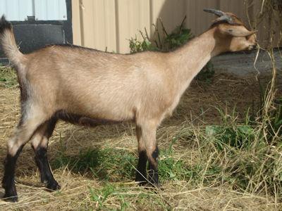 Kiko Doeling Goats For Sale | Bohannon Kentucky Kiko Goats