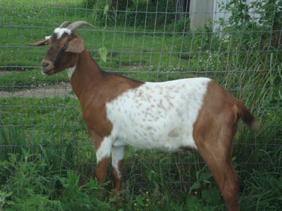 Kiko Nanny Goats For Sale | Bohannon Kentucky Kiko Goats | Bardstown